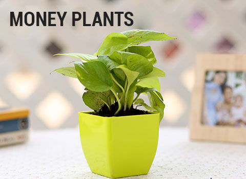 money-plants