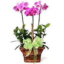 3 phalaenopsis orchids CIN: Gift Delivery in China