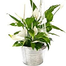 Peace Lily Bucket: Love and Romance Gifts to Germany