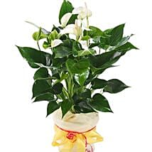 White Anthurium Pot: Love N Romance