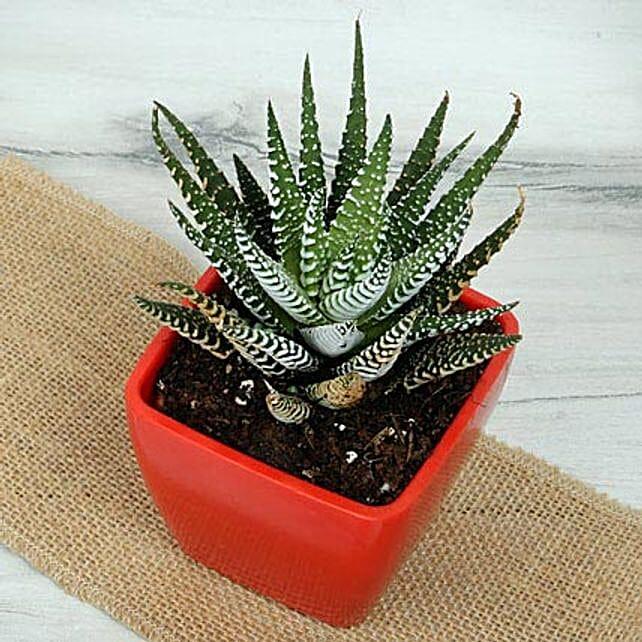 Beautiful Succulent Plant