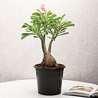 Adenium Desert Rose: Send Home Decor to Ghaziabad