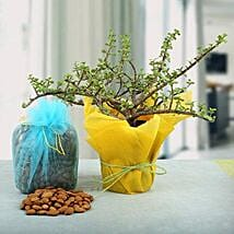 Almonds with Amazing Jade Plant: Diwali Gifts for Her