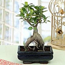 Appealing Ficus Ginseng Bonsai Plant: Send Diwali Gifts to Udupi