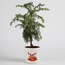 Araucaria Plant in Ceramic Pot for Christmas: Christmas Trees & Poinsettias