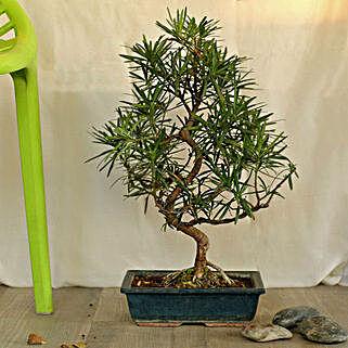 Artistic Bonsai Podocarpus S Shaped Plant: Send Plants to Noida