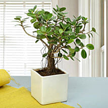 Attractive Ficus Iceland Bonsai Plant: