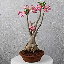 Beautiful Desert Rose Bonsai Plant: Premium Plants