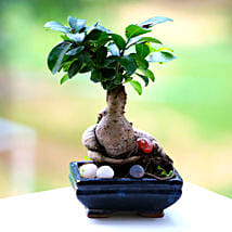 Beautiful Ficus Microcarpa Plant: Gifts Delivery In Avanti Vihar