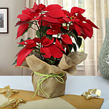 Beautiful Poinsettia Plant: Christmas Gifts Your Family