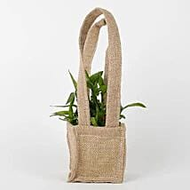 Carry Lucky Bamboo Plant Around: Lucky Bamboo for Rakhi