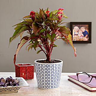 Cockscomb Pink Flowering Plant In Melamine Pot: Plants for birthday