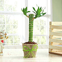 Cut Leaf Bamboo Plant: Good Luck Plants for Her