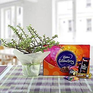 Delicious Chocolates N Jade Plant: Send Indoor Plants