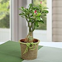 Desert Rose Beautiful Plant: Flower Plant