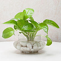 Divine Money Plant Terrarium: Send Plants for Birthday