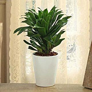 Dracaena Compacta Plant: Diwali Gifts for Colleague