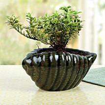 Elegant Shell Buxus Plant: Send Diwali Gifts to Qatar