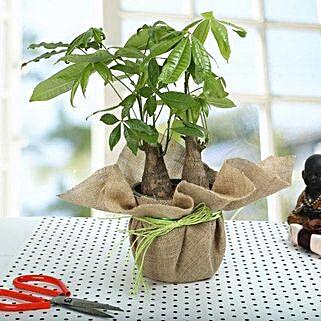 Enchanting Pachira Bonsai Plant: Bonsai Plants