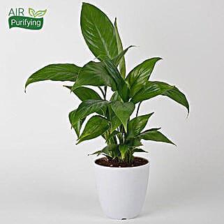 Evergreen Peace Lily Plant: Spiritual and Vastu Plants