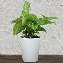Evergreen Syngonium Plant: Plants for House Warming