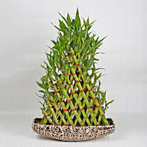 Exotic 8 Layer Lucky Pyramid Bamboo Plant: Send Plants to Delhi