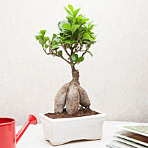 Exotic Ficus Bonsai Plant: Diwali Gifts for Wife