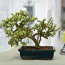 Fabulous Jade Bonsai Plant: Bonsai Plants