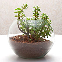 Fantastic Jade Terrarium: Plants to Delhi