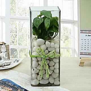 Fashionable Money Plant Terrarium: Money Plant