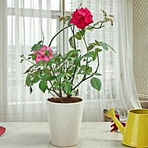 Fragrant Rose Plant: Rose Day Gifts