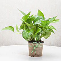 Gift Money Plant for Prosperity: Send Valentine Gifts to Faridabad