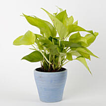 Golden Money Plant in Blue Recycled Plastic Lining Pot: Money Tree