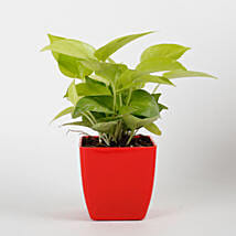 Golden Money Plant in Red Imported Plastic Pot: Money Plant