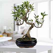 Gorgeous Ficus S shaped Plant: Plants to Delhi