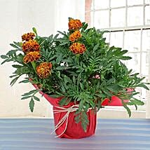 Gorgeous Marigold Plant: Gifts Under 999