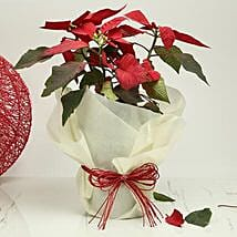 Gorgeous Poinsettia Plant: Flowering Plants