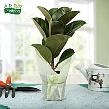 Gorgeous Rubber Plant: Air Purifying Plants