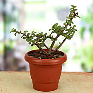 Green Gift Jade Crassula: