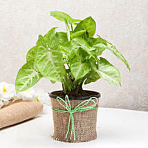 Hue of Green Syngonium Plant: Send Diwali Gifts to Ghaziabad