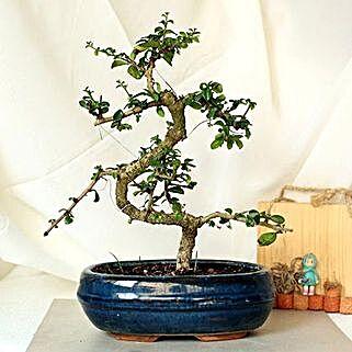 Intesifying carmona S Shape Bonsai Plant: Independence Day Gifts