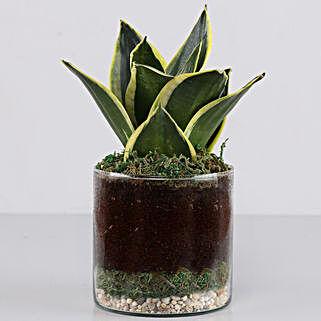 "Jade Marginata Snake Plant 4"" Glass Terrarium: Anniversary Gifts for Clients"