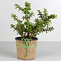 Jade Plant in Black Plastic Pot: Gifts for Mother