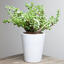 Lively Jade Plant: Plants to Delhi
