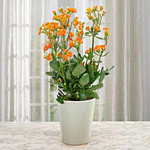Love For Kalanchoe: Plants to Delhi