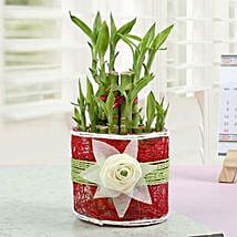 Love with Lucky Bamboo Plant: Lucky Bamboo for Mothers Day