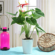 Lovely Anthurium Plant: Flowering Plants