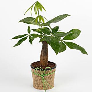 Lucky Pachira Bonsai Plant: Send Plants to Ludhiana