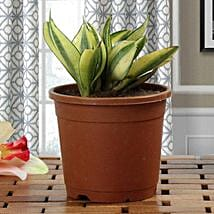 Lush Green Sansevieria Plant: Plants to Delhi