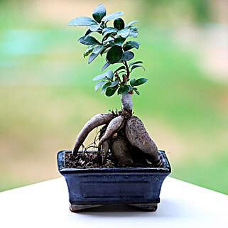 Marvellous Ficus Microcarpa Plant: